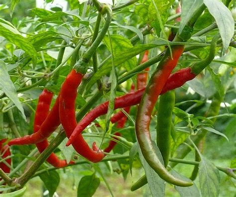 Cayenne Pepper Plant