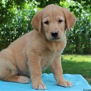 Labrador Golden Retriever Mix Puppies   www.pixshark.com ...