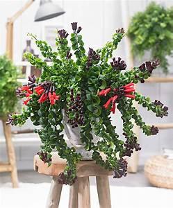 Plante Suspendue Intérieur : achetez maintenant une plante d int rieur aeschynanthe retombante 39 rasta 39 acheter ~ Teatrodelosmanantiales.com Idées de Décoration