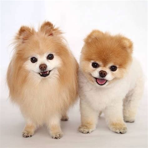 pomeranian boo haircut pomeranians puppy cut for the of animals 4816