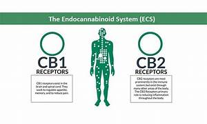 The Endocannabinoid System  Simple Guide About It U0026 39 S Works