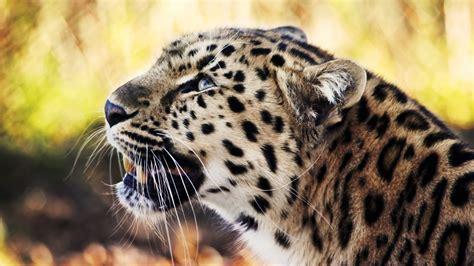 Animal Wallpaper 1080p - animal leopard 1080p wallpaper hd 1920x1080 cool pc