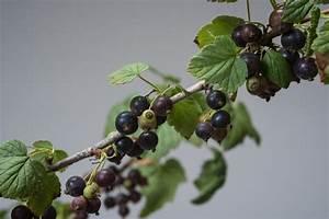Schwarze Johannisbeere Pflanzen : schwarze johannisbeere ribes nigrum g nstig online kaufen ~ Frokenaadalensverden.com Haus und Dekorationen
