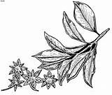 Herb Anise Colouring Mewarna Gambar Sayuran Sayur Spice Mari Picolour Jintan Herba Manis sketch template