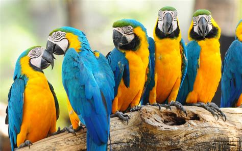 macaw parrot macaws gallery page