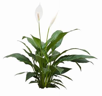 Plants Spathiphyllum Living Philodendron Pothos Golden Walls