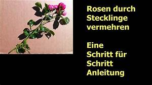 Magnolien Vermehren Durch Stecklinge : rosenstecklinge machen schritt f r schritt anleitung ~ Lizthompson.info Haus und Dekorationen