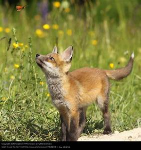 cute fox puppy looking after butterfly by taviphoto. A ...