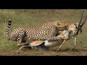 Leopard Hunting Prey