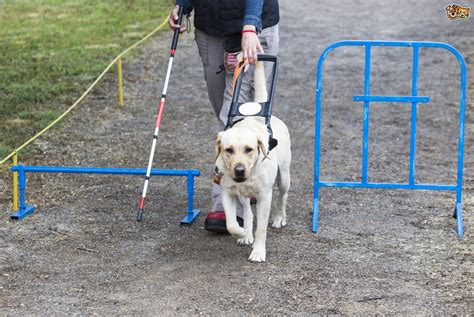 What Are Guide Dogs For The Blind Taught To Do?