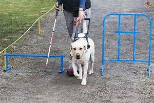 What are guide dogs for the blind taught to do? | Pets4Homes