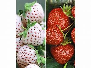 Pflanzen Bei Lidl : erdbeeren rarit ten kollektion 39 sengana selektion ~ A.2002-acura-tl-radio.info Haus und Dekorationen