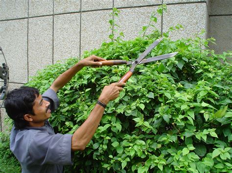 trimming bushes hedge trimmer wikiwand