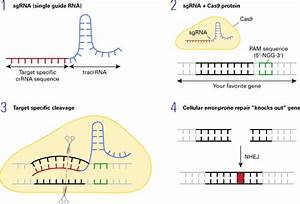 Introduction To The Crispr  Cas9 System