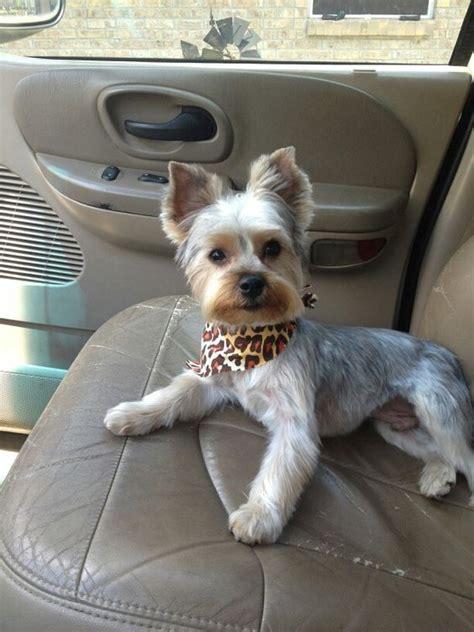 haircut decisions   yorkshire terrier petpress