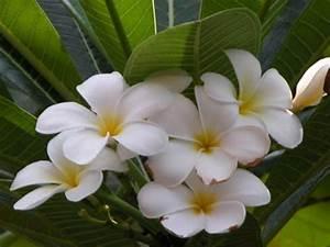 Baum Mit Weißen Blüten : asiatischer baum mit wei en bl ten plumeria rubra ~ Michelbontemps.com Haus und Dekorationen