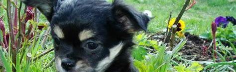 fotogalerie malteser yorki chihuahua