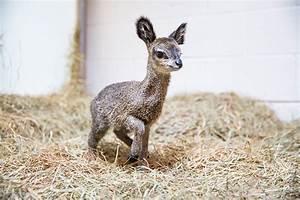 klipspringer Archives - Animal Fact Guide
