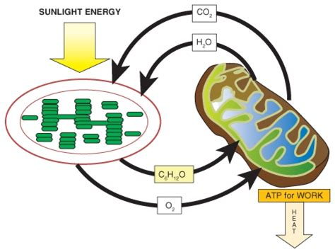 powering  cell cellular respiration  glycolysis