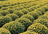 How to Care for Fall Mums - Dogwood Landscaping