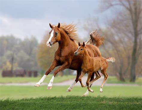 animals herbivore list horse mare foal arab horses