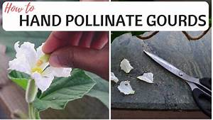 How To Hand Pollinate Gourds