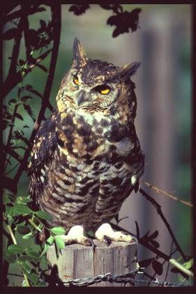 Cape Eagle Owl Simso Wildlife