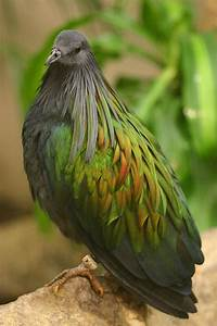 Nicobar Pigeon The Closest Living Relative Of The Dodo