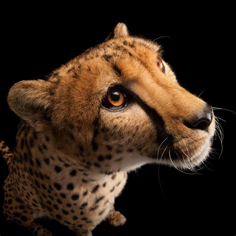 cheetah national geographic