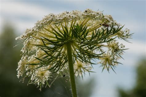 https://www.preservons-la-nature.fr/flore/taxon/346.html