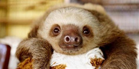 Twerking Baby Sloths Video Huffpost