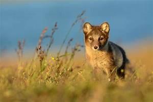 Arctic Fox In The Summer On The Northern Coast Of Alaska