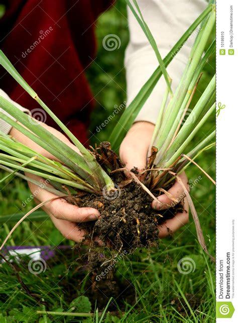 lemon grass perennial plants transplanting stock photo