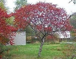 Kleiner Baum Garten : essigbaum hirschkolbensumach rhus typhina kleiner baum ~ Lizthompson.info Haus und Dekorationen