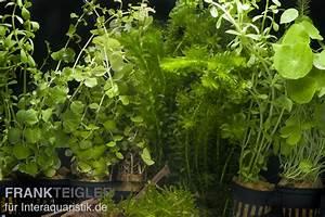 Welchen Dünger Für Aquarienpflanzen : aquarienpflanzen sortiment kaltwasser f r 80 cm aquarium ~ Michelbontemps.com Haus und Dekorationen