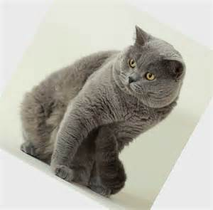 cat breed domestic cat breeds