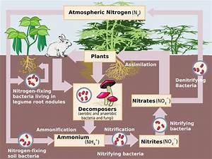 The Nitrogen Cycle Diagram Freshwater Wetland