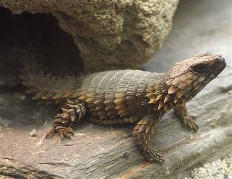 African Spinytail Lizard Life Expectancy