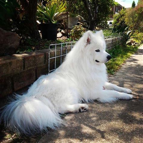 298 Best Images About Samoyeds On Pinterest Adoption