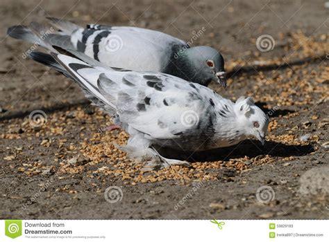 pigeons eat wheat stock image image of eating white