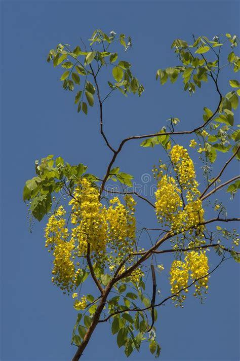 gulmohar leaf stock photo image  branches nature