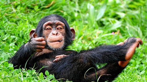 Animals And Birds Wallpaper - chimpanzee in relaxing mood wallpaper hd animals