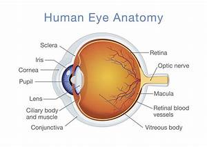 Structure And Function Of The Human Eye