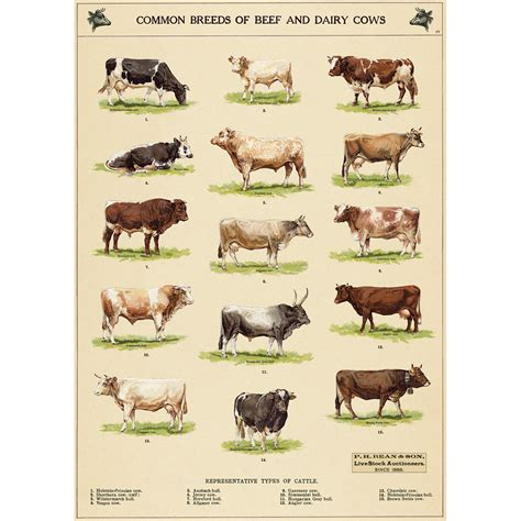 beef dairy  breed chart vintage style poster  retro