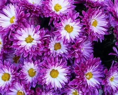 Purple Chrysanthemum Flowers Wallpapers 1920 1080 Wallpapers13