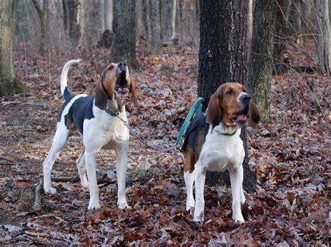 walker coonhound hounds dog hound treeing coon adorable redbone