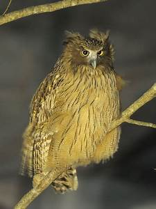 Blakiston's fish owl - Wikipedia