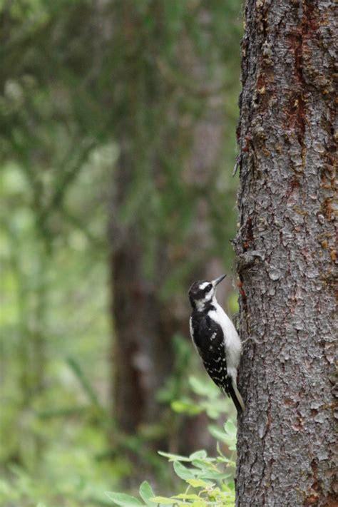 three toed woodpecker eagle valley alaska