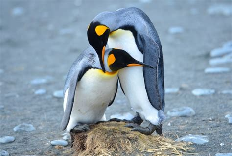 Antarctica Penguin Bird
