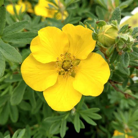 Potentilla HAPPY FACE Yellow - Buy Bush Cinquefoil Shrubs ...